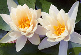 Lotus Blossums