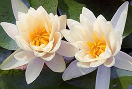 Lotus Blossums